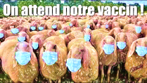 moutons masques on attend notre vaccin